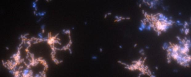 Wissenschaftler haben die molekularen Tricks entschlüsselt, mit denen ein spezielles Bakterium seinen Sauerstoffbedarf abdeckt, um das Treibhausgas Methan zu nutzen. Ein niederländisches Wissenschaftlerteam von der Radboud Universität in Nijmegen entdeckte […]