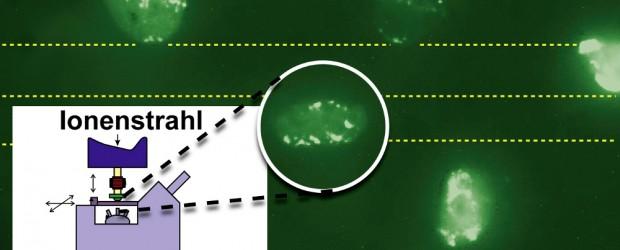 Die Wirkung hoher Dosen ionisierender Strahlung, wie sie bei Reaktorunfällen oder dem Einsatz atomarer Waffen frei wird, ist unumstritten und umfangreich dokumentiert. Doch die Effekte niedriger Strahlendosen auf menschliche Zellen […]