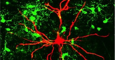 Wissenschaftler der Johannes Gutenberg-Universität Mainz (JGU) haben eine neue Verbindung im Gehirn entdeckt, die für Lernprozesse und die Verarbeitung von Empfindungen eine wichtige Rolle spielt. Bekannt war, dass bestimmte Gliazellen […]