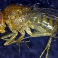 Einem Team von Berner Forschenden der Universität Bernd (UNIBE) ist es gelungen, die Lebensdauer von Fliegen deutlich zu erhöhen. Sie aktivierten ein Gen, welches ungesunde Zellen zerstört. Die Resultate der […]